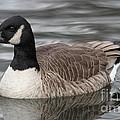 Canadian Goose by Ken Keener