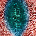 Cell Division, Sem by David M. Phillips