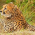Cheetah by Millard H. Sharp