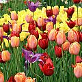 Colorful Tulips by Eva Kaufman