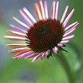 Coneflower by Tony Cordoza