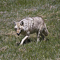 Coyote  by Jack R Perry