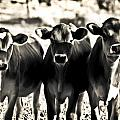 3 Curious Cows by Sarah  Cafaro