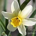 Cyclamineus Daffodil Named Jack Snipe by J McCombie