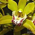 Cymbidium Orchid by Howard Stapleton