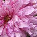 Dahlia Named Annette C by J McCombie
