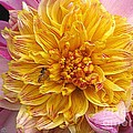 Dahlia Named Lambada by J McCombie