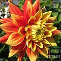 Dahlia Named Swan's Sunset by J McCombie