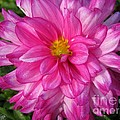 Dahlia Named Who Dun It by J McCombie
