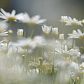 Daisies by Michael Goyberg
