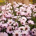 Daisies by Tim Hester