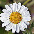 Daisy Flower by George Atsametakis