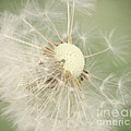Dandelion by LHJB Photography