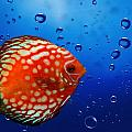 Discus Fish by Heike Hultsch
