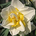 Double Daffodil Named White Lion by J McCombie