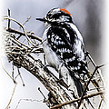 Downy Woodpecker by Ronald Grogan
