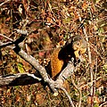 Eastern Fox Squirrel by Jack R Brock