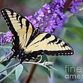 Eastern Tiger Swallowtail Butterfly On Butterfly Bush by Karen Adams