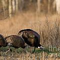 Eastern Wild Turkeys by Linda Freshwaters Arndt