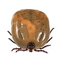 Engorged Ixodes Tick by Science Photo Library