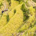 Farmers At Rice Field by Tuimages