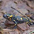 Fire Salamander by Jivko Nakev