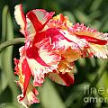 Flaming Parrot Tulip by J McCombie