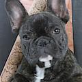 French Bulldog Puppy by Jean-Michel Labat