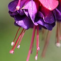 Fuchsia Named Dark Eyes by J McCombie