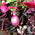 Fuchsia Named Roesse Blacky by J McCombie