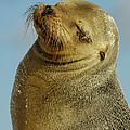 Galapagos Sea Lion Zalophus Wollebaeki by Pete Oxford