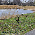 3 Geese by Verana Stark