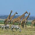 Girafe Masai Giraffa Camelopardalis by Gerard Lacz
