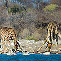 Giraffes Giraffa Camelopardalis by Panoramic Images