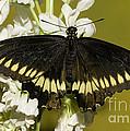 Gold Rim Swallowtail Butterfly by Millard H. Sharp