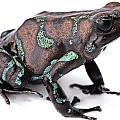 Golden Poison Dart Frog by Dirk Ercken