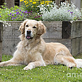 Golden Retriever Dog by John Daniels