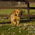 Golden Retriever Pup by Linda Freshwaters Arndt