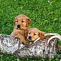 Golden Retriever Puppies by Linda Freshwaters Arndt