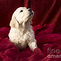 Golden Retriever Puppy by Angel  Tarantella
