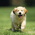 Golden Retriever Puppy by John Daniels