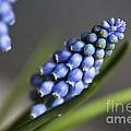 Grape Hyacinth by Nailia Schwarz
