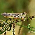 Grasshopper by Olga Hamilton