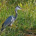 Great Blue Heron by Rudy Umans