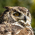 Great Horned Owl by Les Palenik