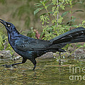 Great-tailed Grackle by Anthony Mercieca