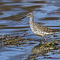 Greater Yellowlegs by Doug Lloyd
