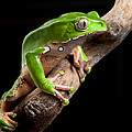 green tree frog amazon rain forest by Dirk Ercken