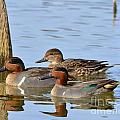 Green Winged Teal by Kevin Pugh