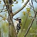 Hairy Woodpecker by Linda Freshwaters Arndt